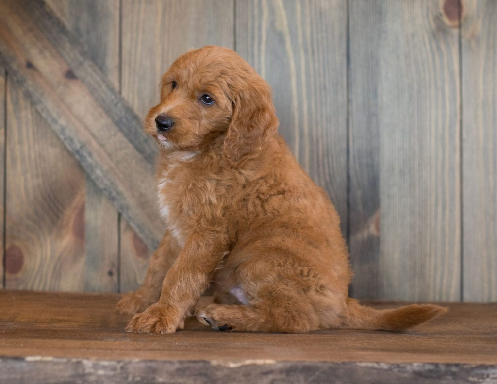 Bear is an F1B Goldendoodle that should have  and is currently living in Illinois