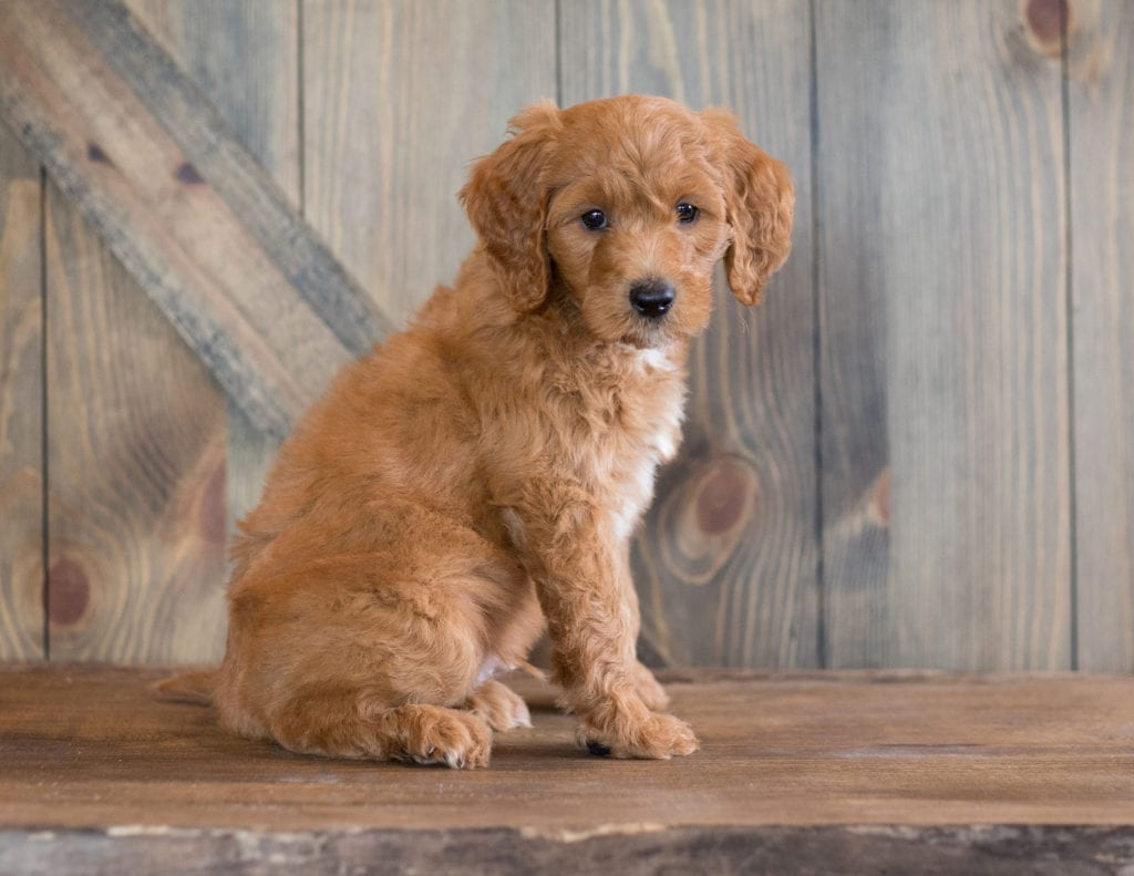 Bear came from Kimber and Scout's litter of F1B Goldendoodles
