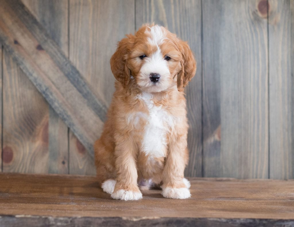 Belix came from Kimber and Scout's litter of F1B Goldendoodles