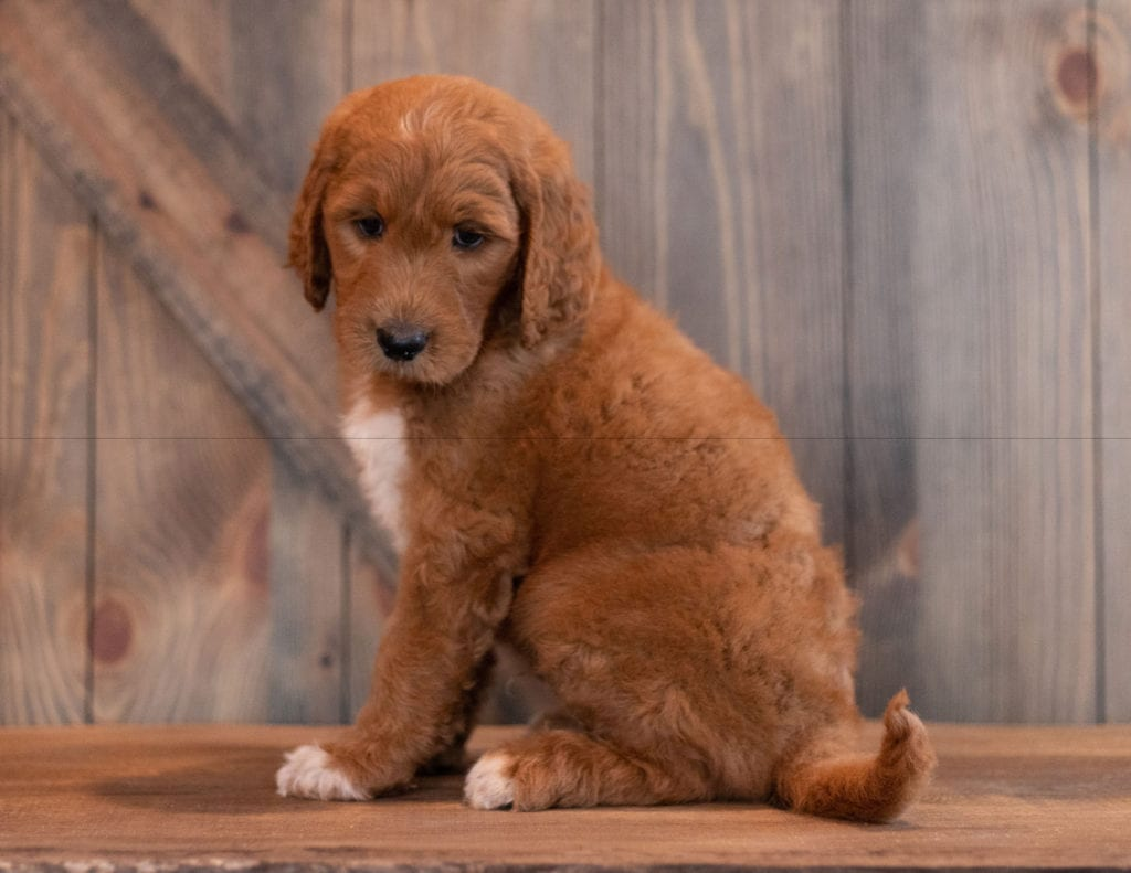 Ace came from Berkeley and Scout's litter of F1B Goldendoodles
