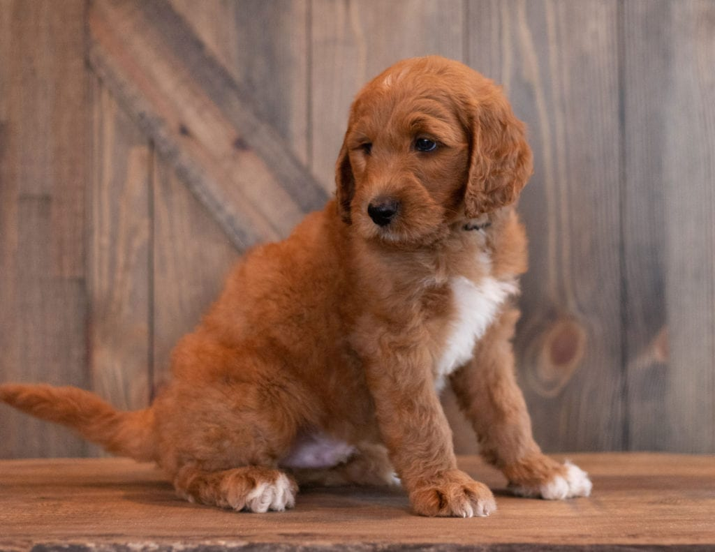 A picture of a Ace, one of our Mini Goldendoodles puppies that went to their home in North Dakota