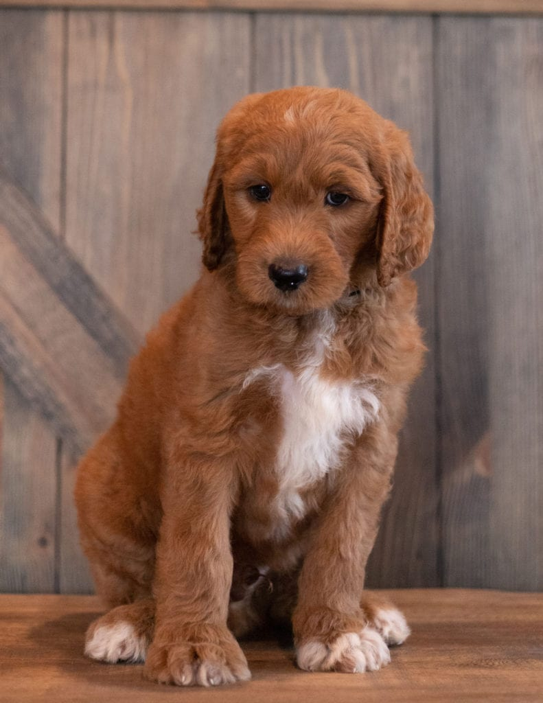 Ace is an F1B Goldendoodle that should have  and is currently living in North Dakota