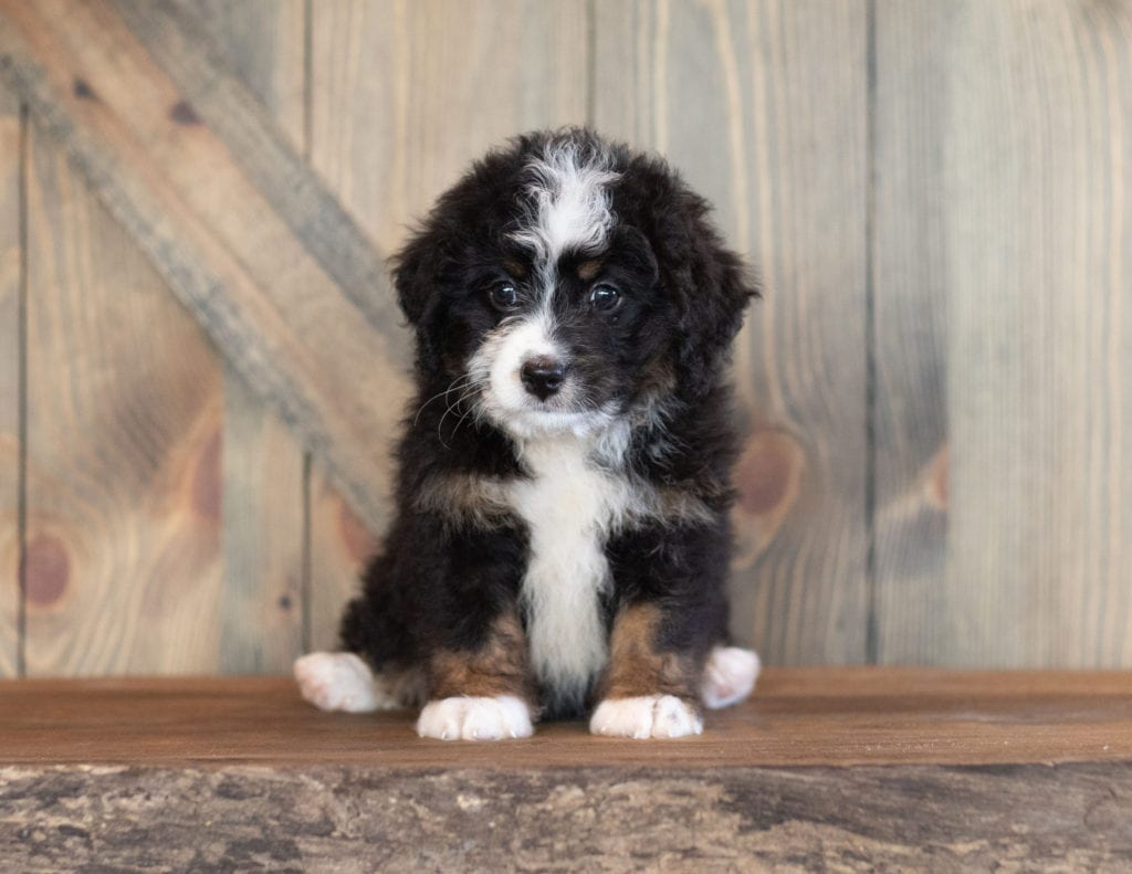 A picture of a Carly, one of our Mini Bernedoodles for sale