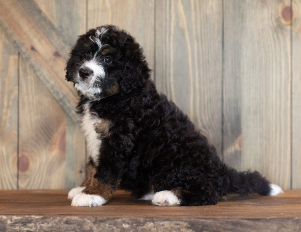 Cash came from Sasha and Stanley's litter of F1 Bernedoodles
