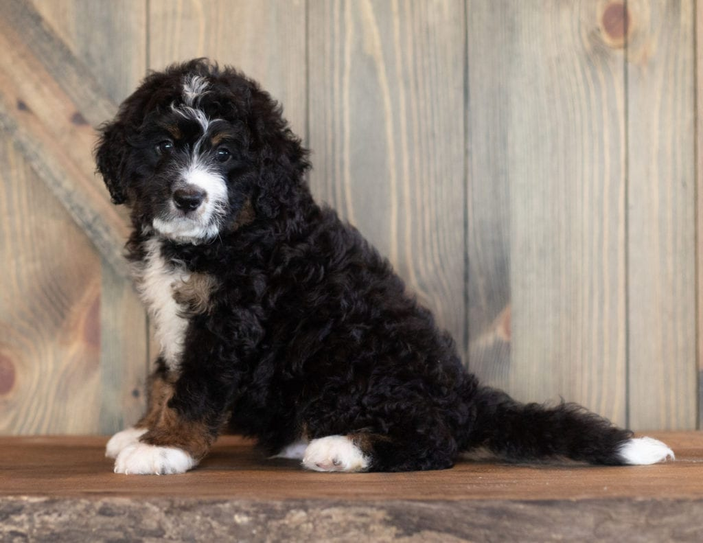 A picture of a Cash, one of our Mini Bernedoodles puppies that went to their home in Nebraska
