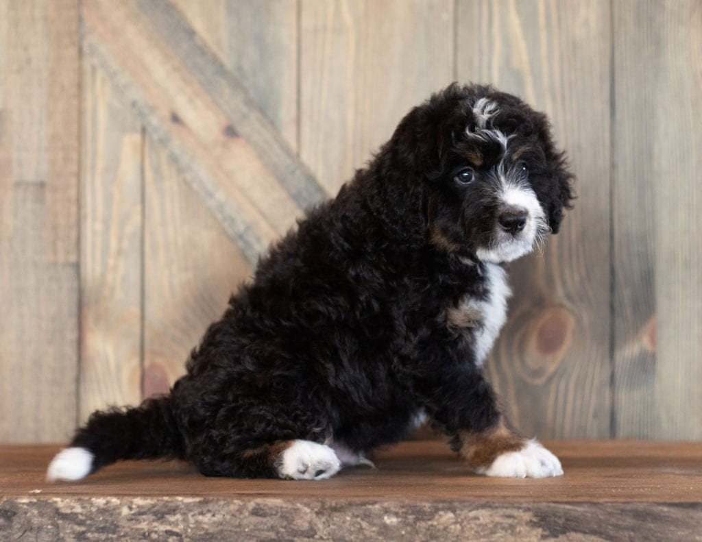 Cash is an F1 Bernedoodle that should have  and is currently living in Nebraska