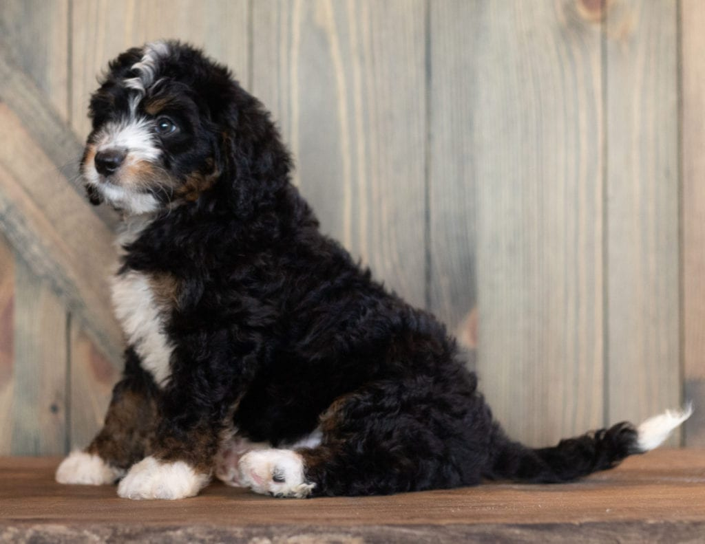 A picture of a Charlie, one of our Mini Bernedoodles puppies that went to their home in Minnesota