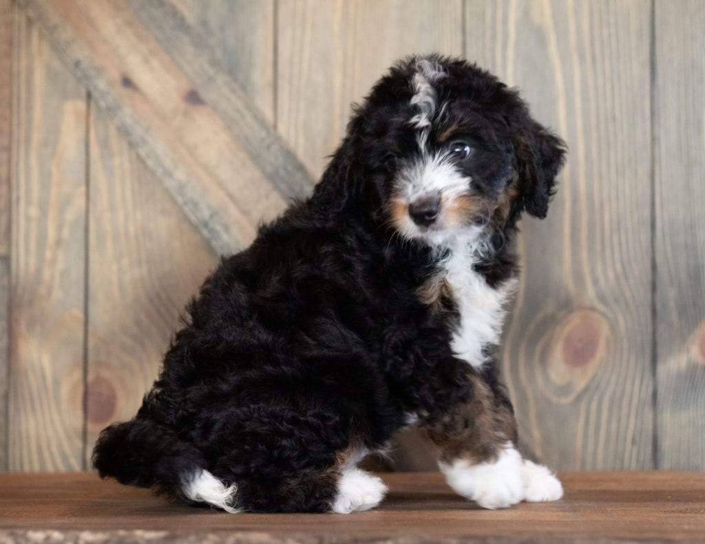 Charlie is an F1 Bernedoodle that should have  and is currently living in Minnesota