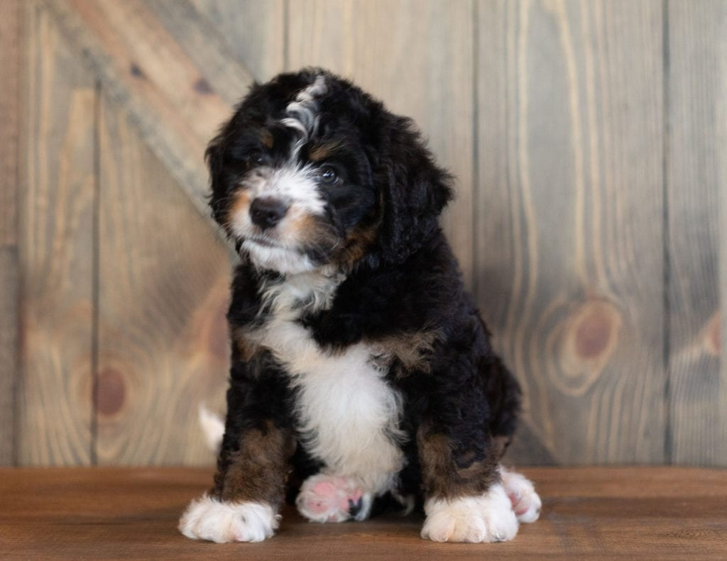 Charlie came from Sasha and Stanley's litter of F1 Bernedoodles