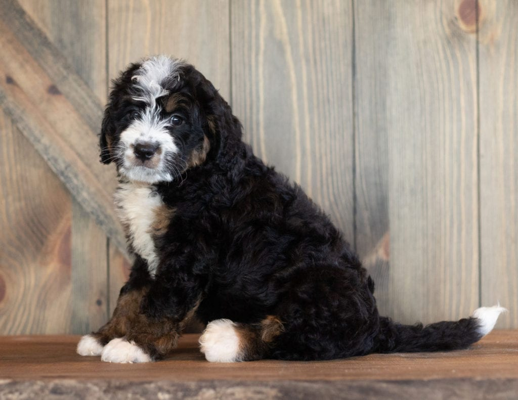 Cody is an F1 Bernedoodle that should have  and is currently living in Nebraska