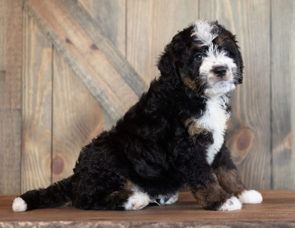 Cody came from Sasha and Stanley's litter of F1 Bernedoodles