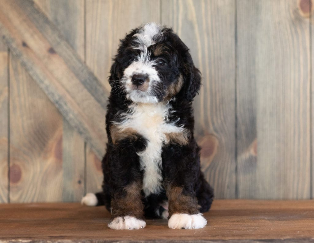 A picture of a Cody, one of our Mini Bernedoodles puppies that went to their home in Nebraska