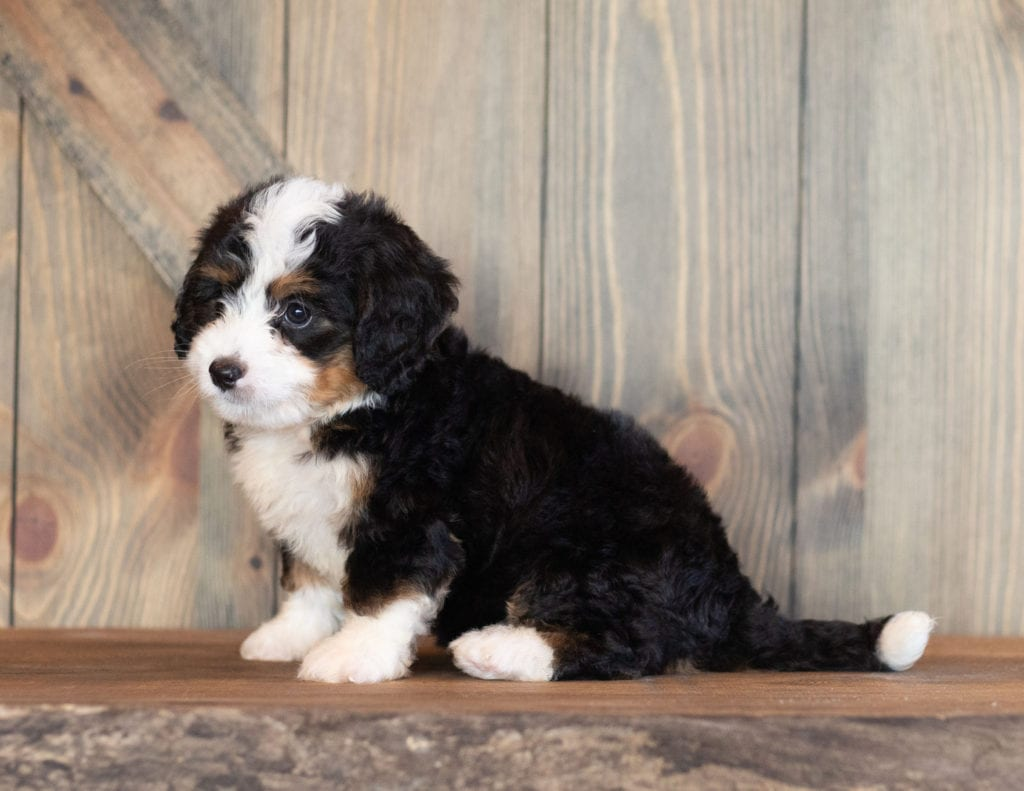 Cora is an F1 Bernedoodle that should have  and is currently living in Maryland