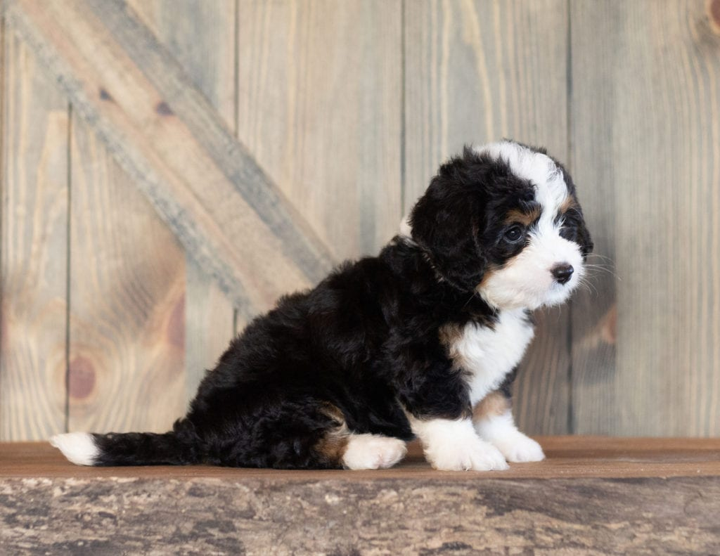 Cora came from Sasha and Stanley's litter of F1 Bernedoodles