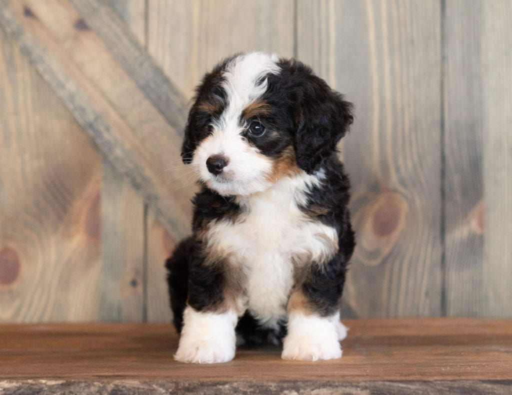 Mini Bernedoodle Puppy Already Sold Cora