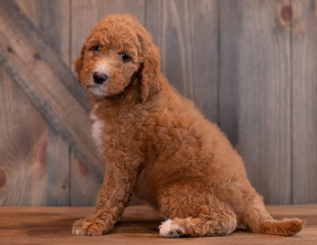 A picture of a Aggy, one of our Mini Goldendoodles puppies that went to their home in New Hamshire
