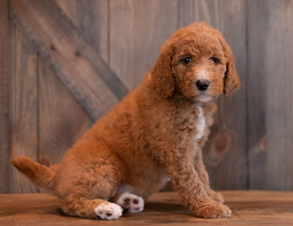 Aggy is an F1B Goldendoodle that should have  and is currently living in New Hamshire