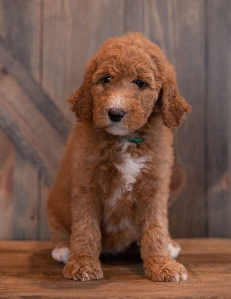 Aggy came from Berkeley and Scout's litter of F1B Goldendoodles