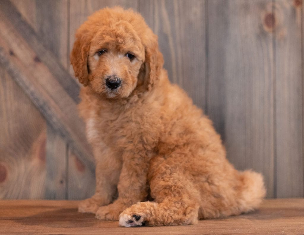 Axel is an F1B Goldendoodle that should have  and is currently living in Nebraska