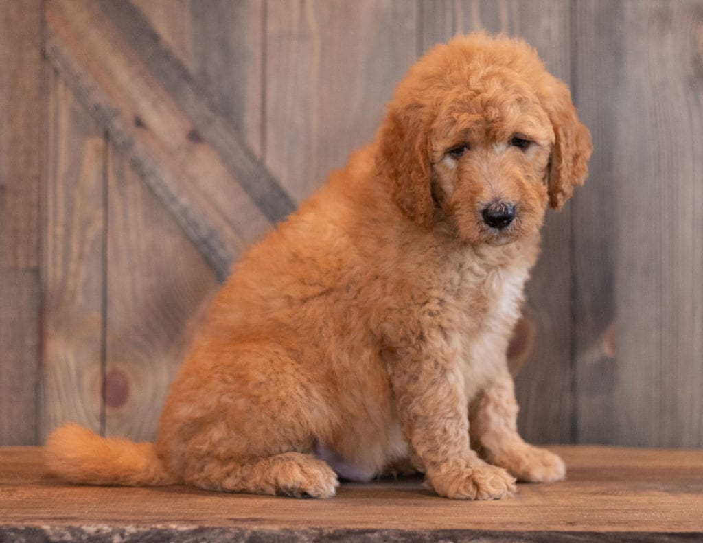 Axel came from Berkeley and Scout's litter of F1B Goldendoodles