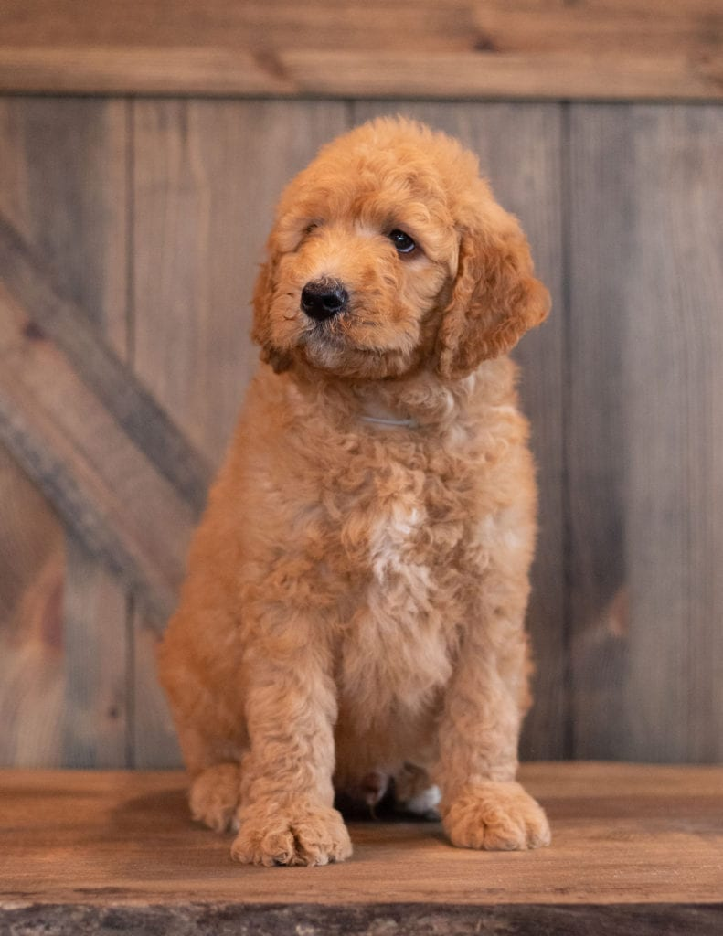 Another great picture of Axel, a Goldendoodles puppy