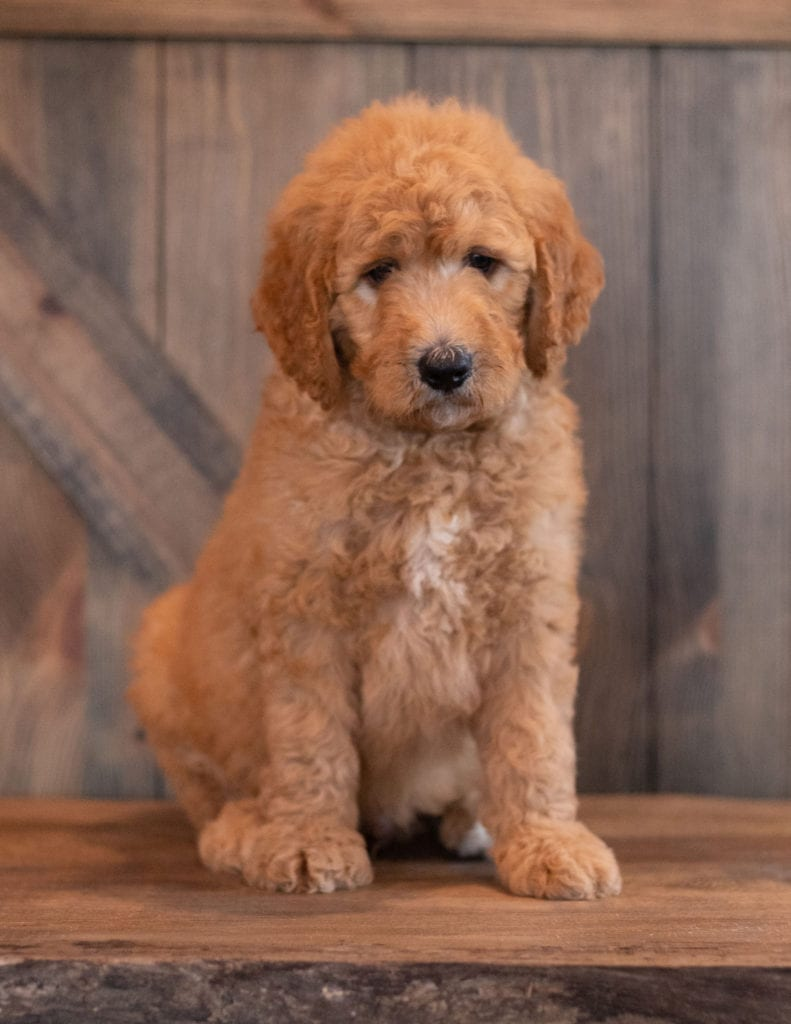 A picture of a Axel, one of our Mini Goldendoodles puppies that went to their home in Nebraska