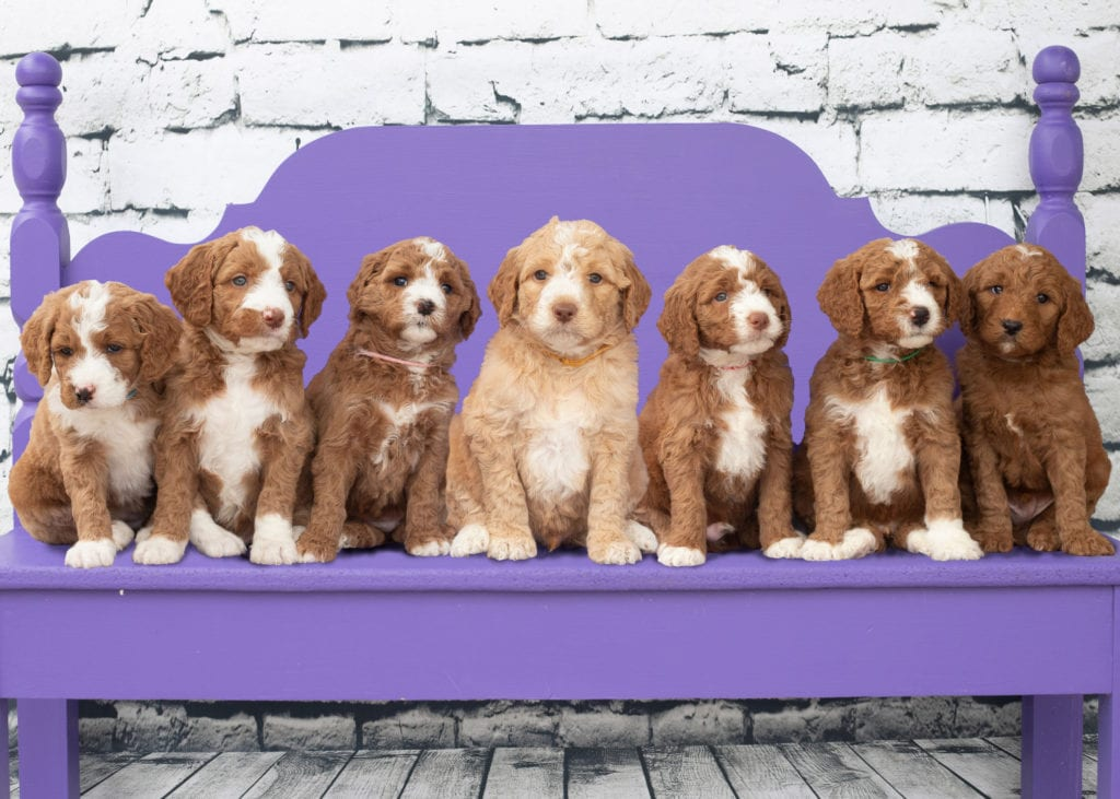 A picture of our litter of Mini Goldendoodles raised in Iowa