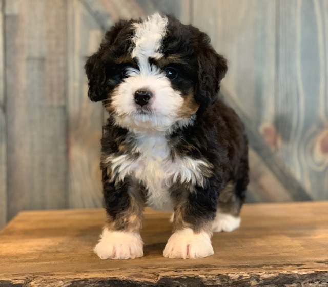 A picture of a Chip, one of our Mini Bernedoodles puppies that went to their home in Iowa