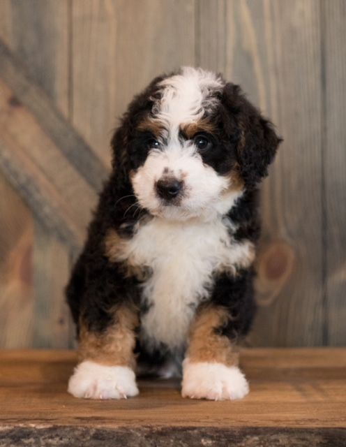 A picture of a Chance, one of our Mini Bernedoodles puppies that went to their home in New Jersey