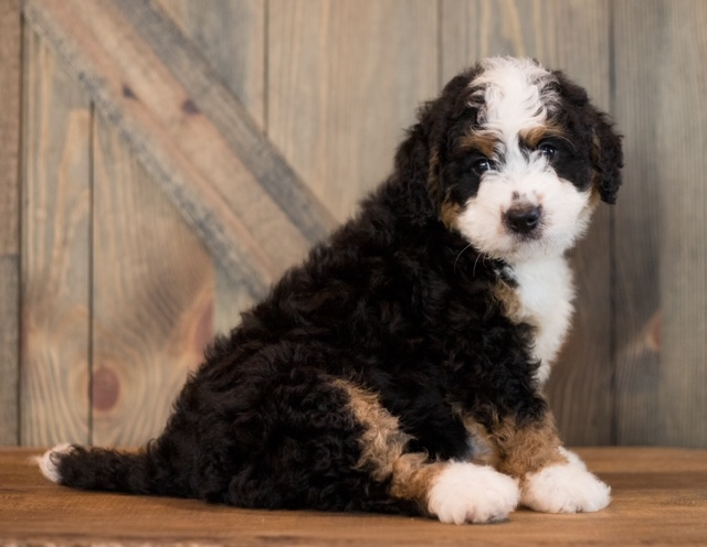 Chance came from Sasha and Stanley's litter of F1 Bernedoodles