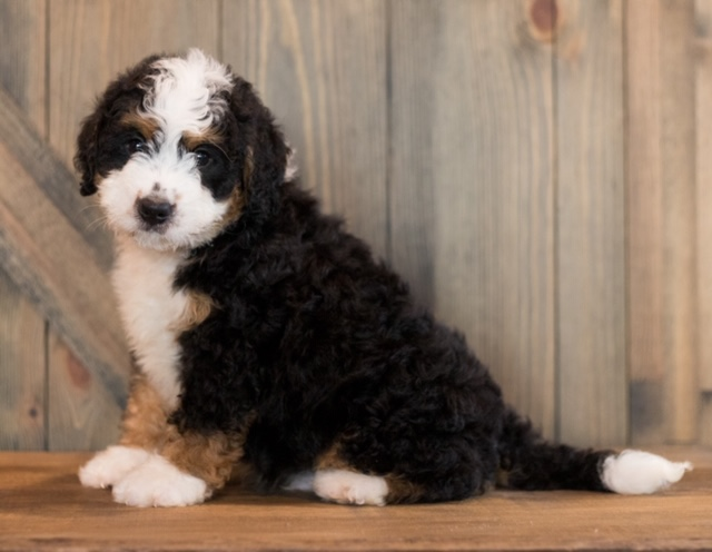Chance is an F1 Bernedoodle that should have  and is currently living in New Jersey