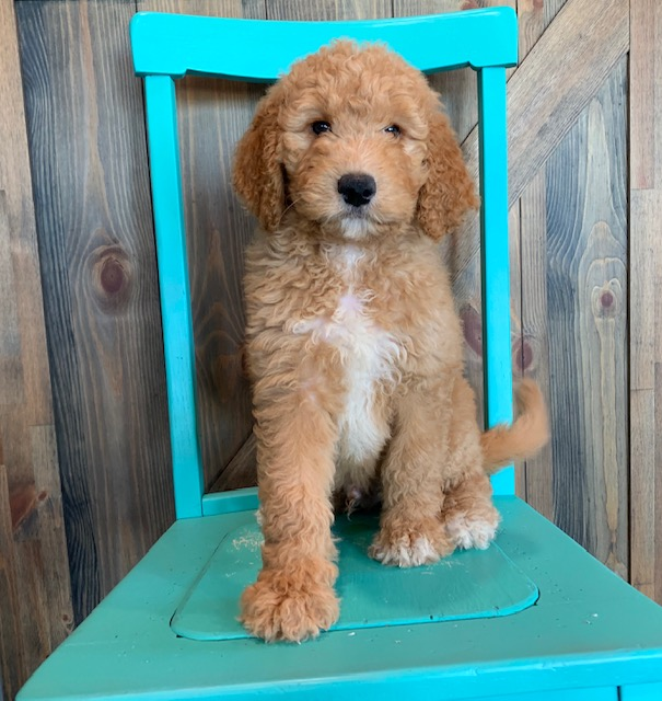 Another great picture of Ajay, a Goldendoodles puppy