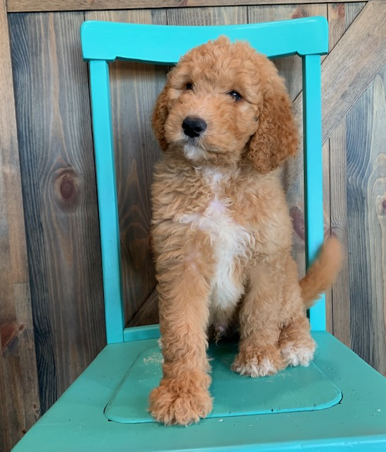 Ajay came from Berkeley and Scout's litter of F1B Goldendoodles
