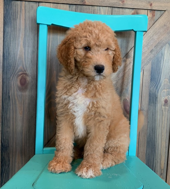 Ajay is an F1B Goldendoodle that should have  and is currently living in Wisconsin