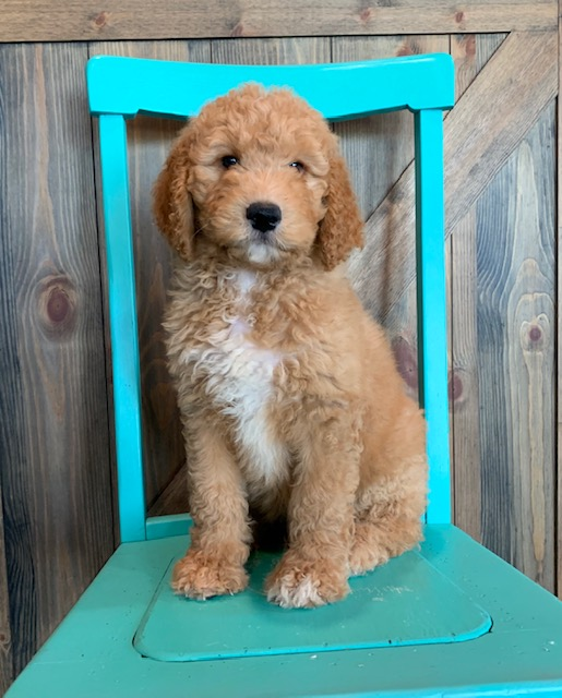 A picture of a Ajay, one of our Mini Goldendoodles puppies that went to their home in Wisconsin