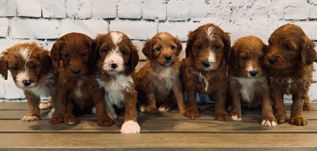 A picture of our litter of Mini Irish Doodles raised in Iowa