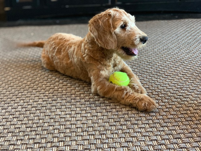 Yael is an F1 Goldendoodle that should have  and is currently living in Iowa