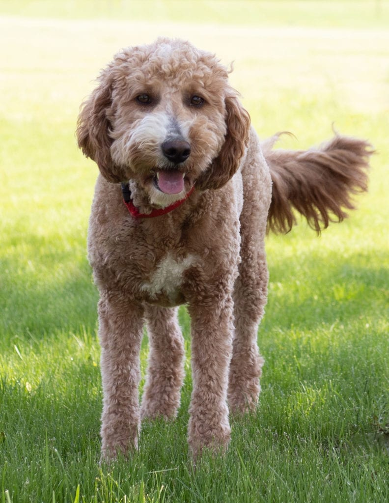 Leia is an F1 Goldendoodle and a mother here at Poodles 2 Doodles, a top breeder of Bernedoodle puppies