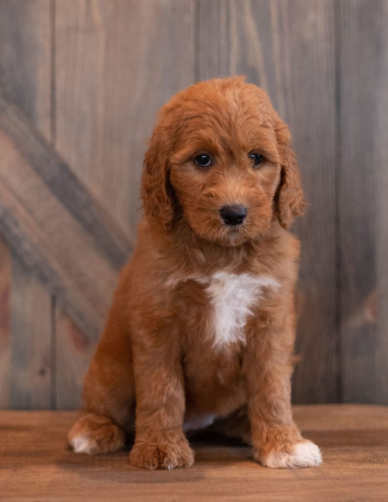 Aby came from Berkeley and Scout's litter of F1B Goldendoodles