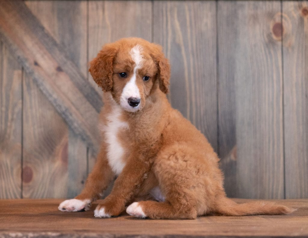 Ali is an F1B Goldendoodle that should have  and is currently living in Iowa