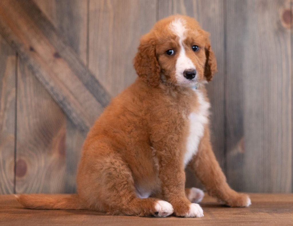 Ali came from Berkeley and Scout's litter of F1B Goldendoodles