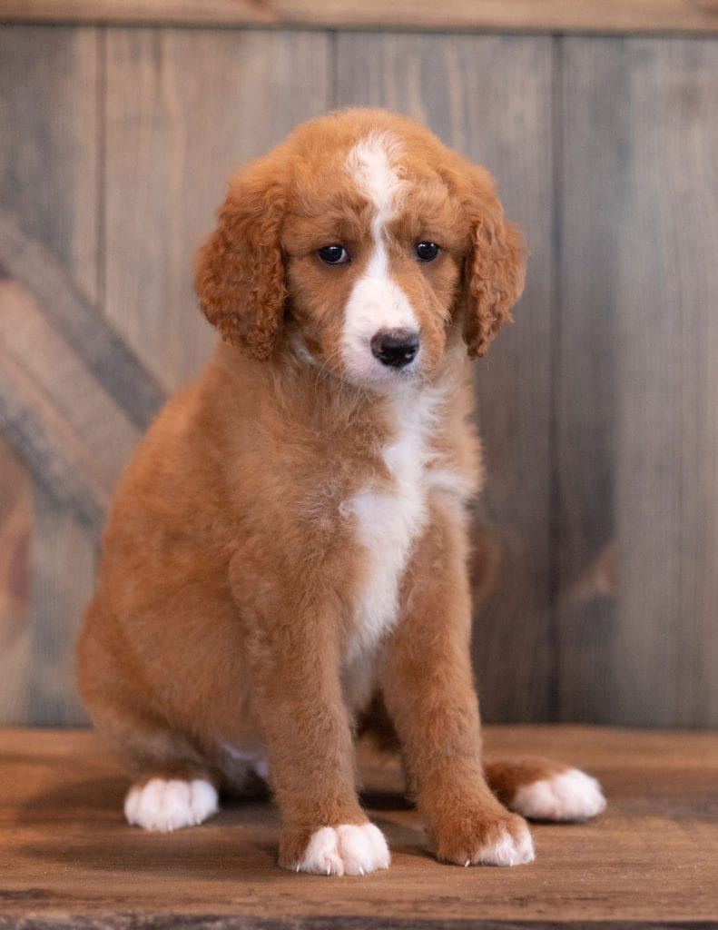 A picture of a Ali, one of our Mini Goldendoodles puppies that went to their home in Iowa