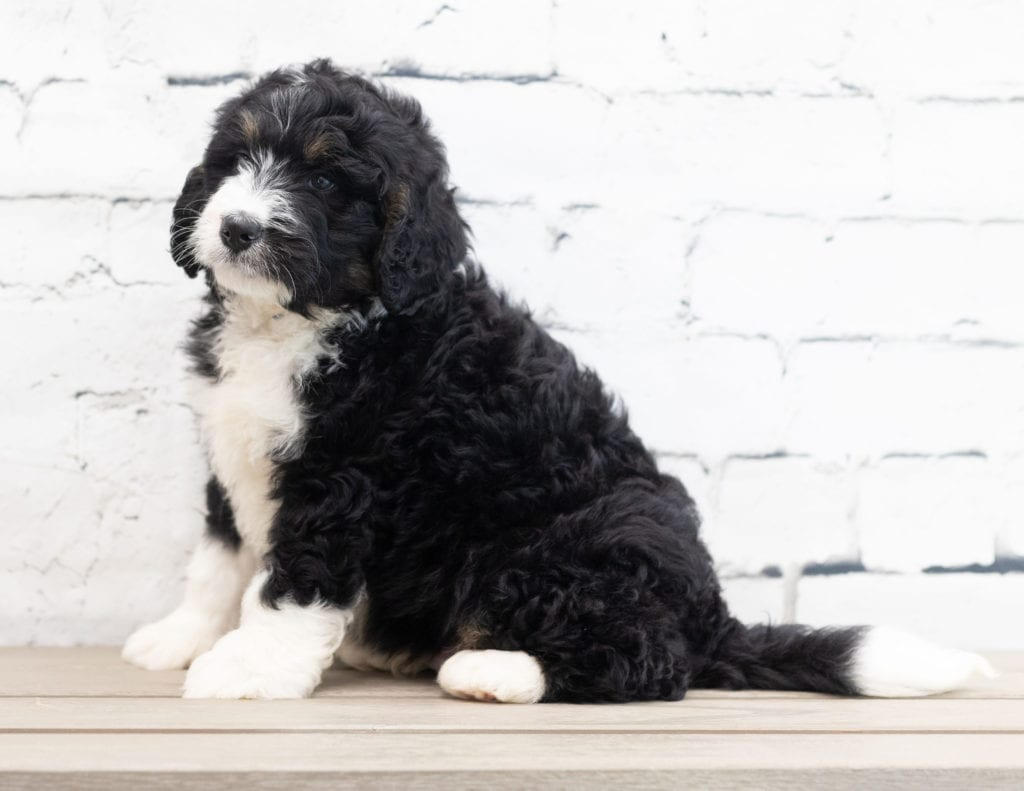 A picture of a Xam, one of our Standard Bernedoodles for sale