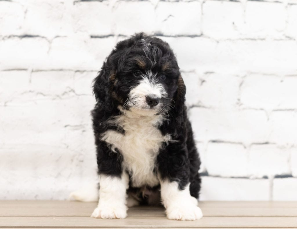 Xam is an F1 Bernedoodle.