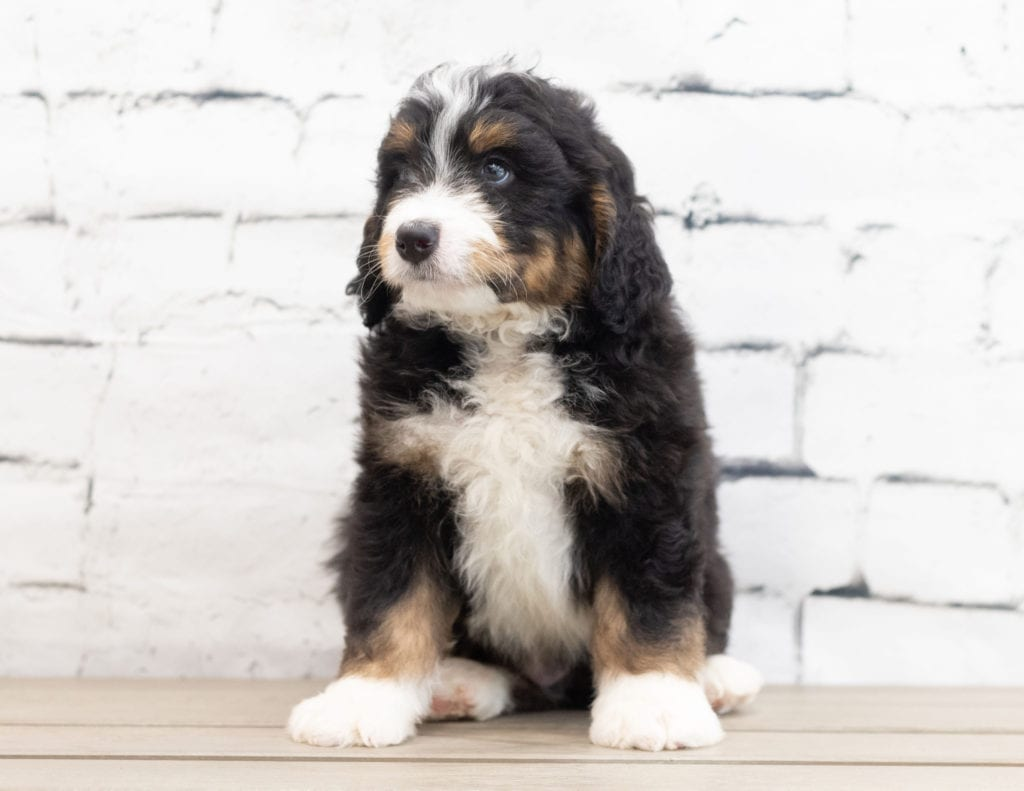A picture of a Xamos, one of our Standard Bernedoodles for sale