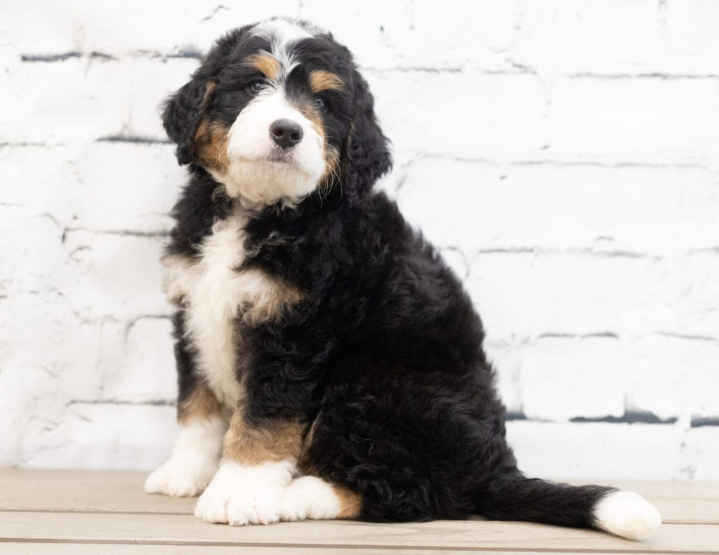 Xandra is an F1 Bernedoodle.