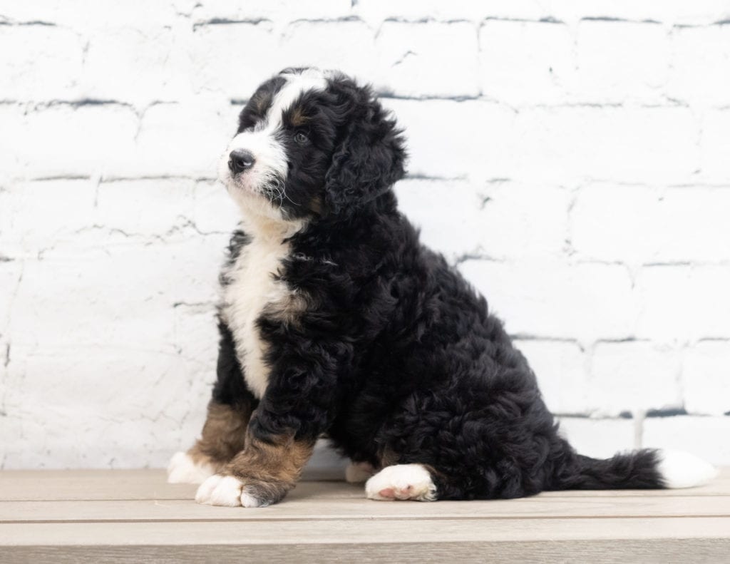 Xavier is an F1 Bernedoodle.