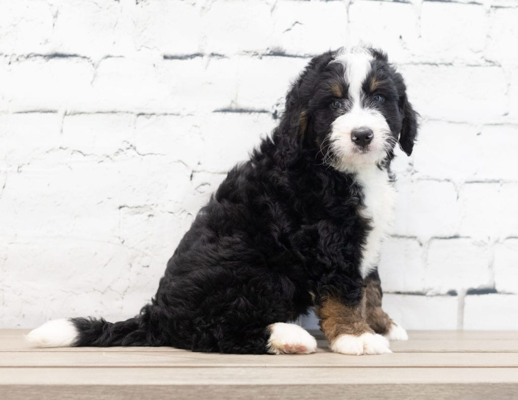 Xavier came from Kiaya and Bentley's litter of F1 Bernedoodles
