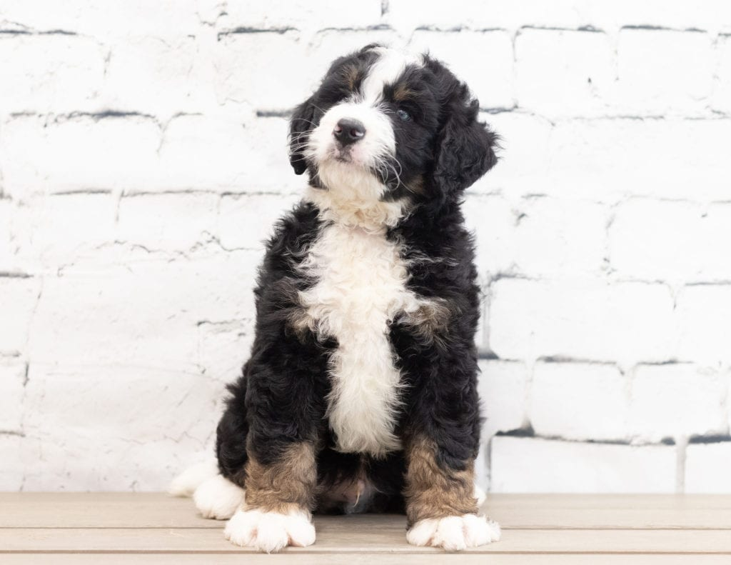A picture of a Xavier, one of our Standard Bernedoodles for sale