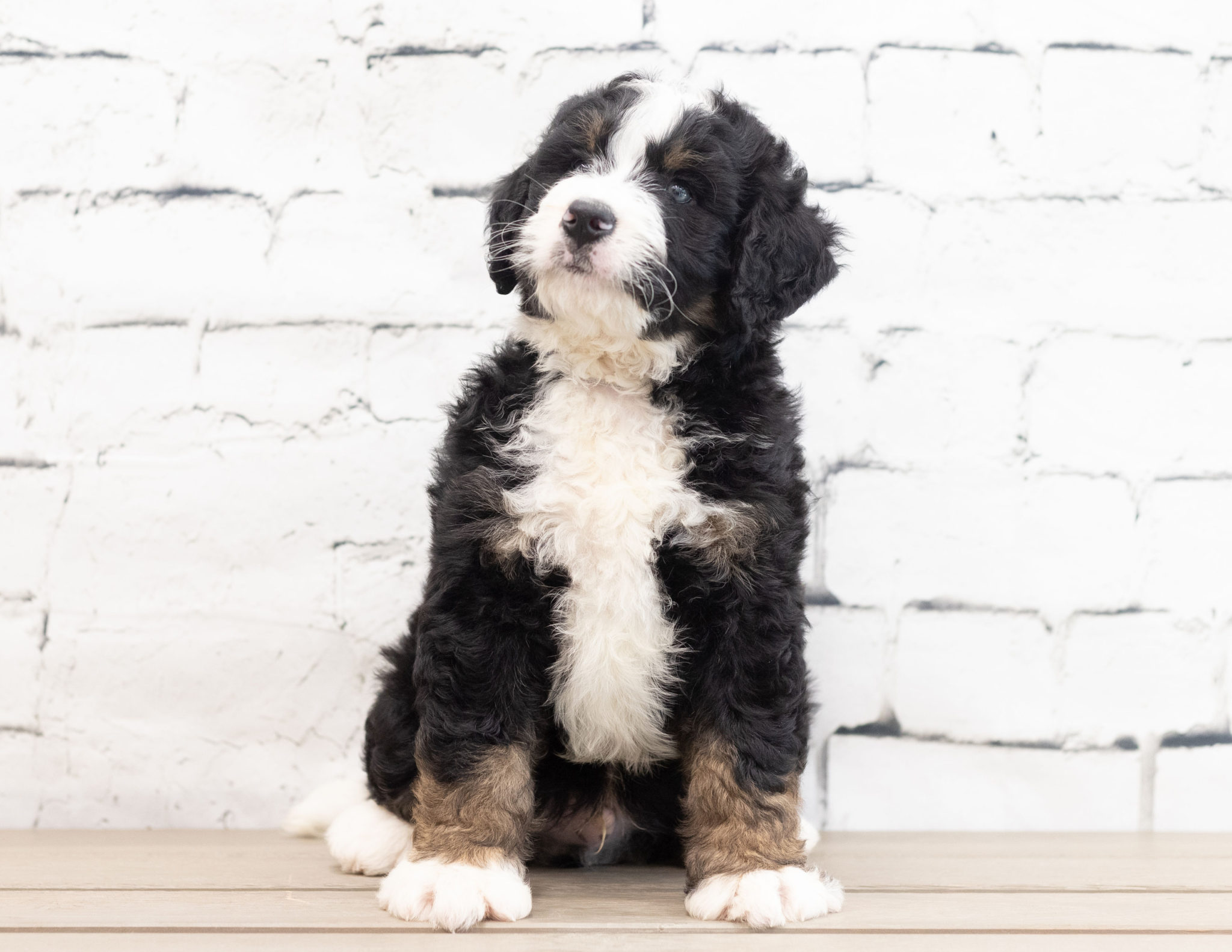 A Poodles 2 Doodles litter of Standard Bernedoodles raised in Iowa